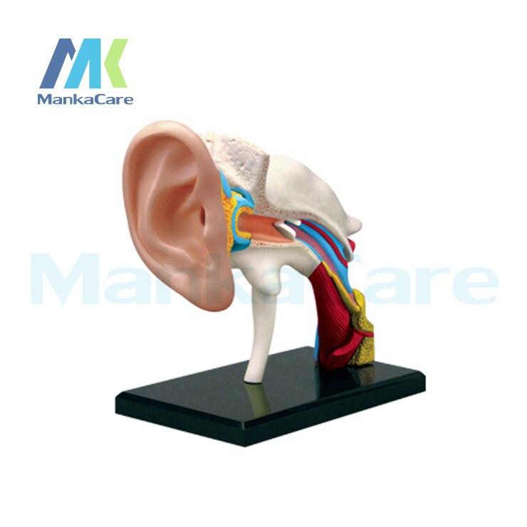 4D maestro estructura del oído anatómico ensamblado Anatomía Humana ...