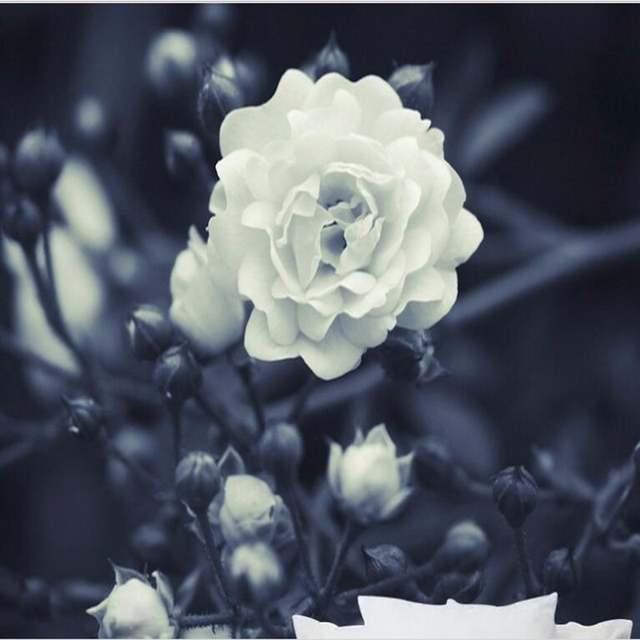 Download 1000 Wallpaper Bunga Mawar Putih  Gratis