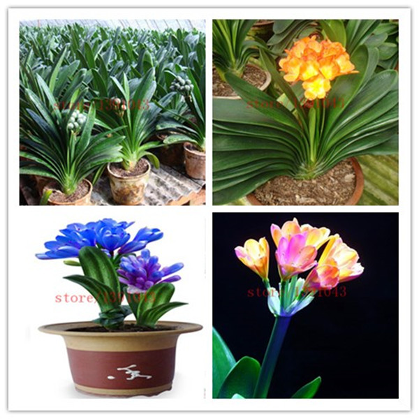 100 Clivia seeds, free shipping cheap Clivia seeds,Clivia potted seed, Bonsai balcony flower FOR home garden best gift for kids