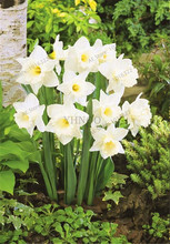 100pcs Bonsai Narcissus seeds,daffodil flower seeds Absorption Radiation aquatic plants double petals Narcissus garden plant.
