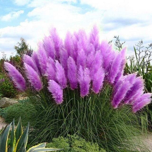 100 graines pack violet herbe des pampas graines plantes ornementales fleurs herbe de la pampa - Fleur de pampa ...