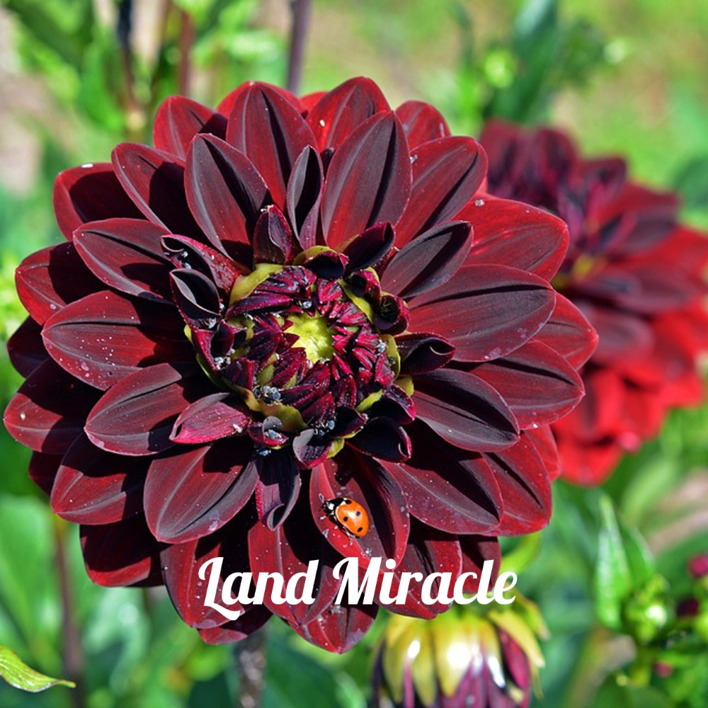 rouge dahlia fleur-achetez des lots à petit prix rouge dahlia