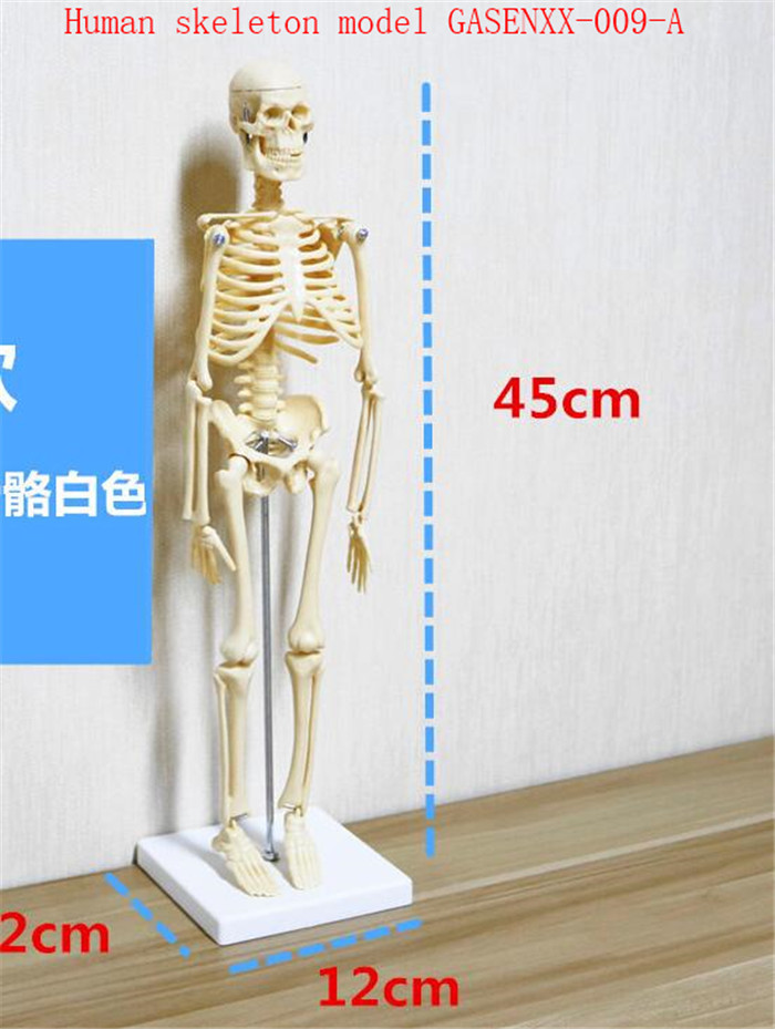 Can be active Medical medicine teaching spine specimen Cerebellum Blood vessels Human skeleton model GASENXX-009-A high quantity medicine detection type blood and marrow test slides