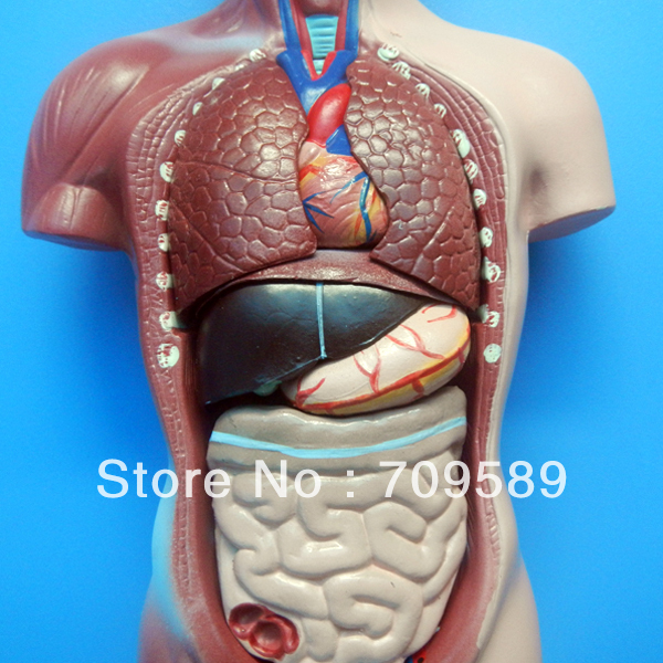 Iso Deluxe 85cm Human Torso With Internal Organs 23 Parts Unisex