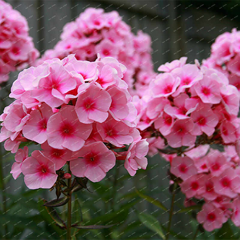 عرض ساخن!!! 200 قطعة ألوان مختلفة فريدة من نوعها فلوكس الزهور بوعاء بونساي فلوريس حديقة المنزل 100% حقيقية العضوية تزهر النبات