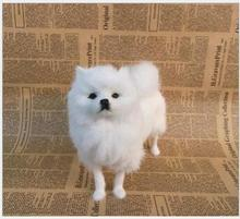WYZHY simulation Pomeranian birthday gift Christmas interior decoration teaching home model ornaments to send friends