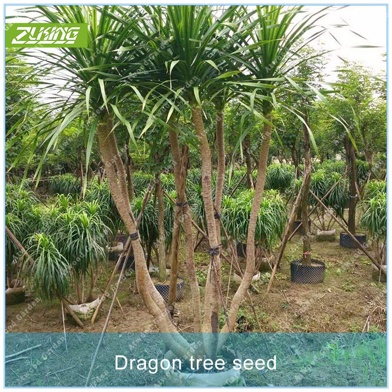 ZLKING 20 PCS Dragon Blood Tree Seed Dracaena Bonsai Plants For Home Garden Fast Growing Garden Plants Rare Perennial Fragrant