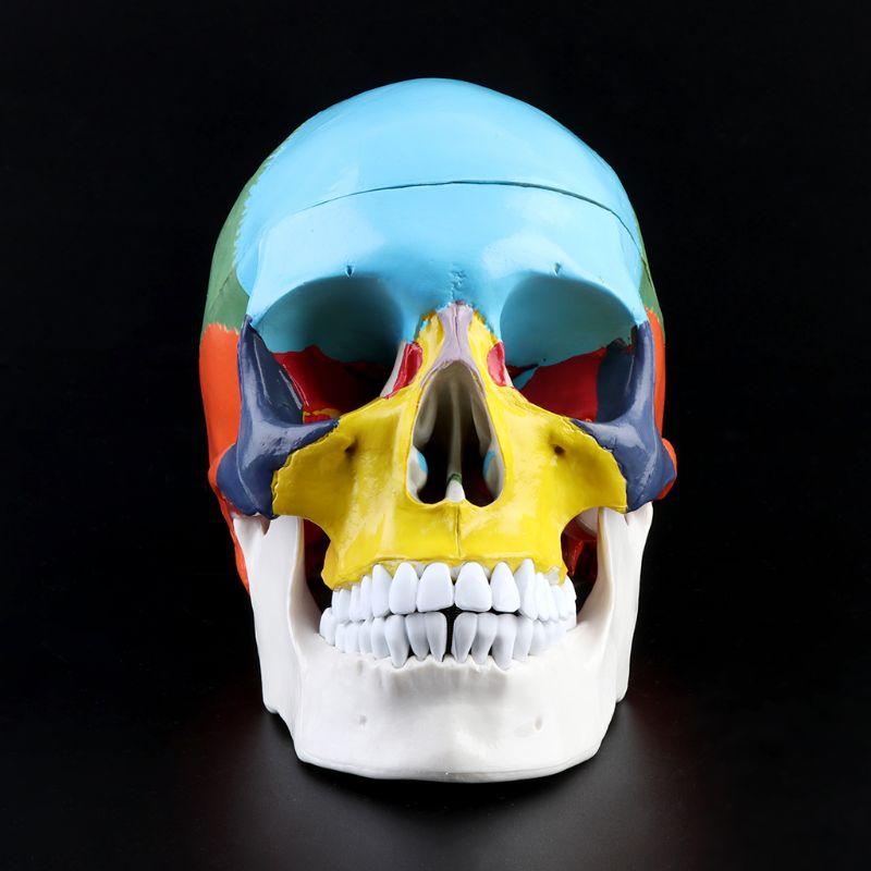 1:1 Scale Colorful Human Skull Skeleton Adult Head Model with Brain Stem Anatomy Medical Teaching Tool Supply 3
