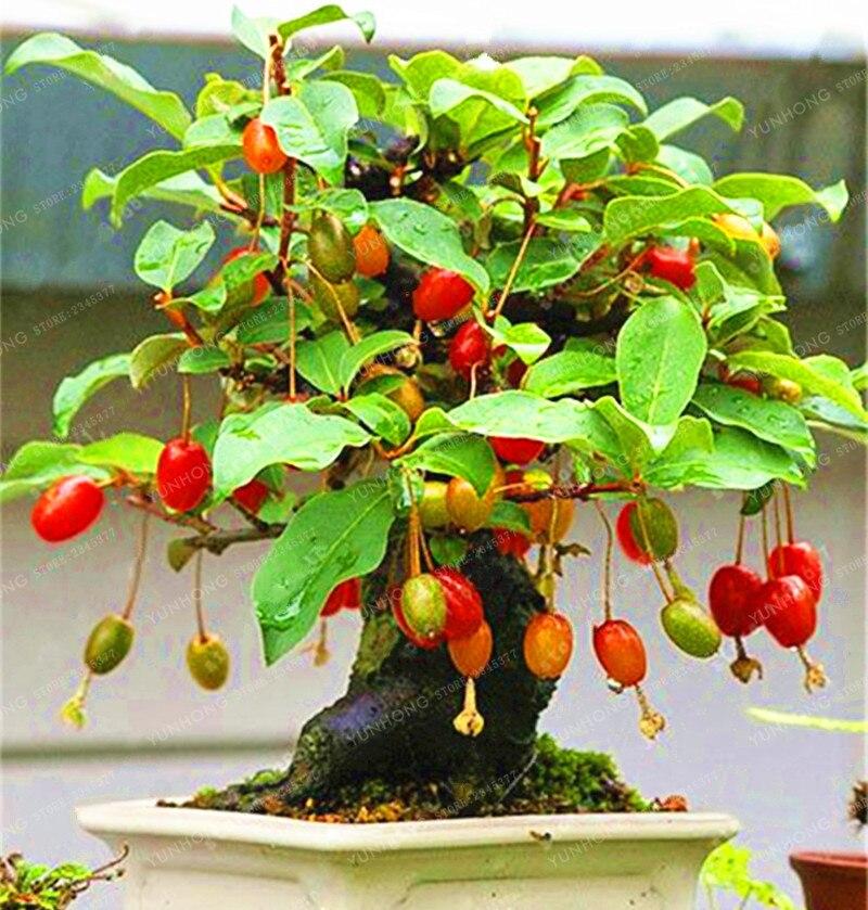 Бонсай Кизил бонсай (Cornus Кизил) редкие фрукты бонсай Вишневое дерево без ГМО горшка DIY для дома сад 10 шт./пакет