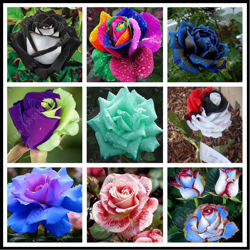 200pcs bag rare mixed COLORS rose seeds rainbow rose seeds bonsai flower seeds black rose rare balcony plant for home garden