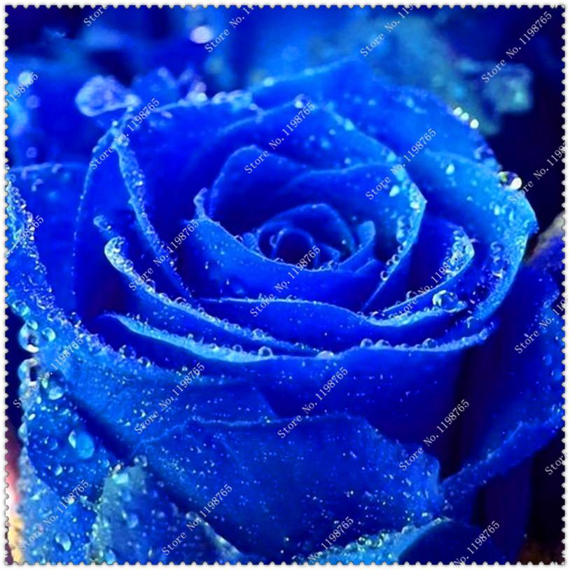 Семена редкой голубой розы фото