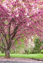 Laeacco Spring Blossom Flower Tree Green Grass Park Outdoor Scenic Photographic Backgrounds Photography Backdrops Photo Studio