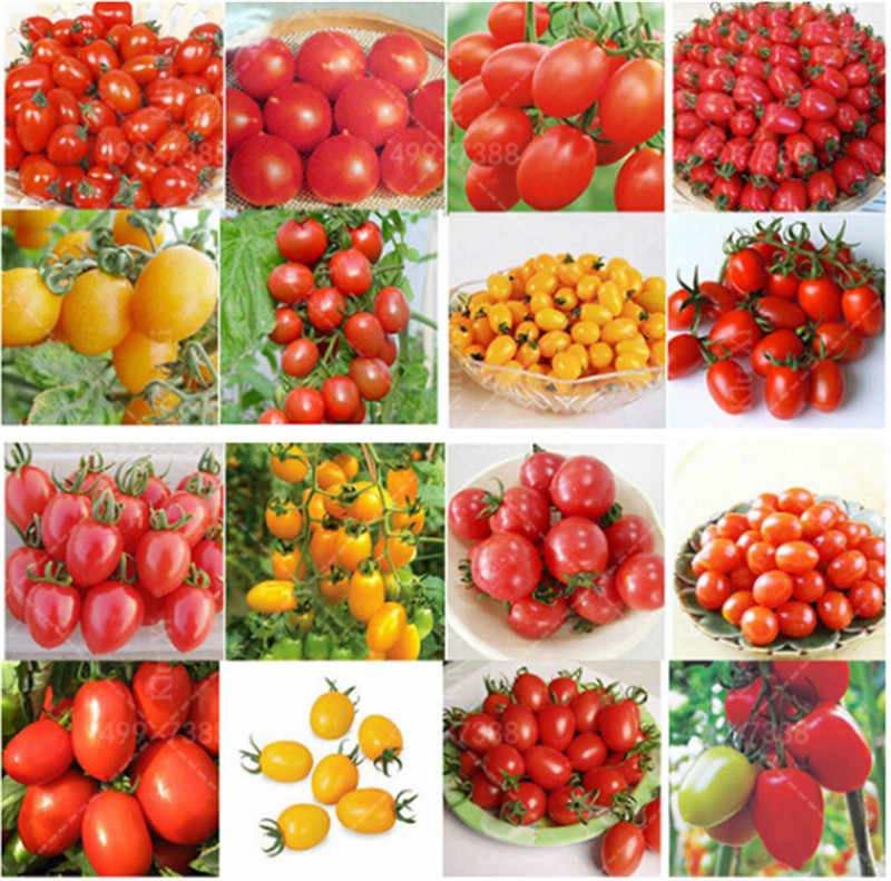 200pcs 24 Kinds Tomoto bonsai Mixed Packed Purple Black Red Yellow Green Cherry Peach Pear Tomato bonsai Organic Food For Garden