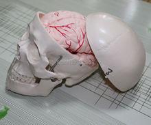 Череп модель с 8 Запчасти мозга, модели мозга, iso Сертификация череп мозг артерии модели