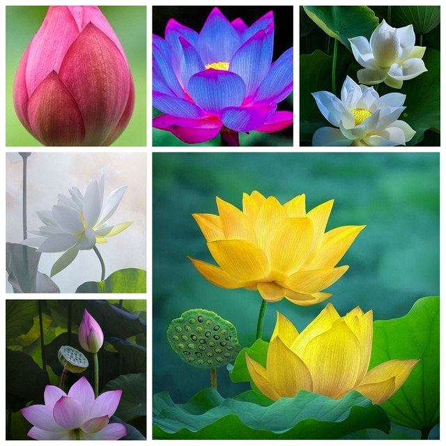 5 Pcs Mixed Bowl Lotus Flower Aquarium Water Lily Aquarios Plant