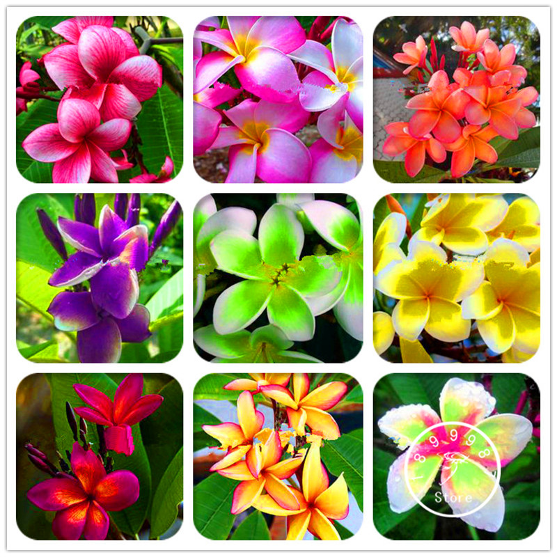 Beautiful Lowest Price Garden Supplies 100 Pieces/bag Japanese Style Plumeria Plant Potted Bonsai Diy Home Garden