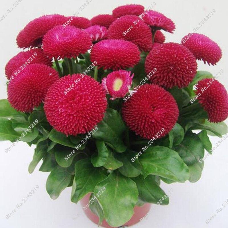 dahlia fleurs-achetez des lots à petit prix dahlia fleurs en