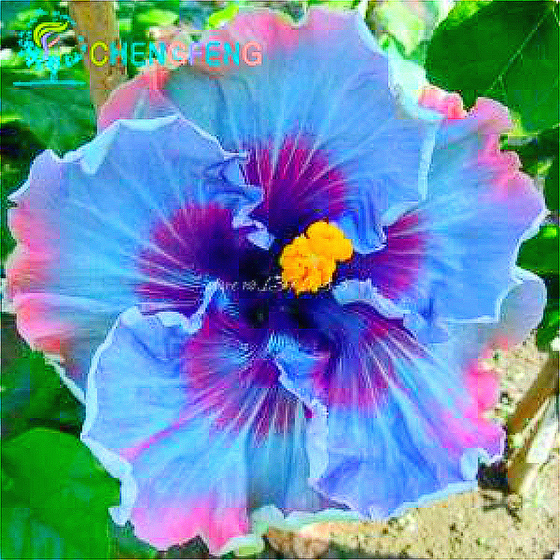 100 Giant Hibiscus Flower Seeds Hardy Mix Color Diy Home Garden