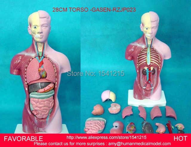 HUMAN TORSO MODEL,FAMALE/MALE TORSO WITH INTERNAL ORGANS,ANATOMICAL ...