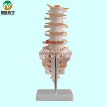 Life-Size Lumbar Vertebrae With Tail Vertebrae Model   BIX-A1011  G161