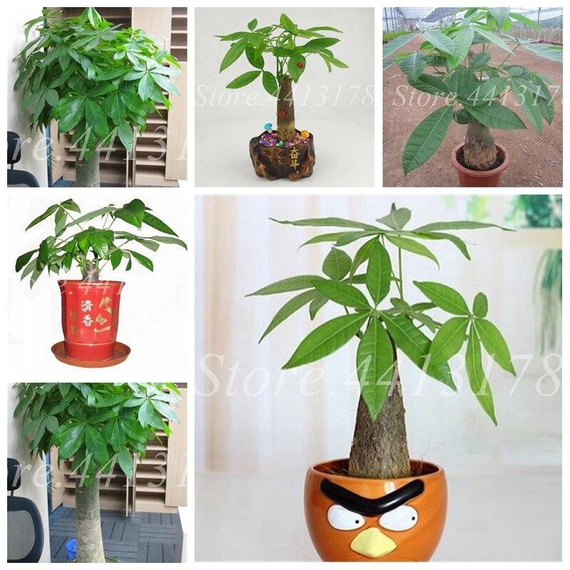 1 шт. мини Pachira крупноплодный Флорес денежное дерево как Гавайский сделать денежное дерево мини-дерево бонсай для дома садовое насаждение