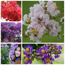 100 pcs Crape Myrtle Lagerstroemia Indica Flower Bonsai Shrub Perennial Courtyard Flore for Home Garden Pot