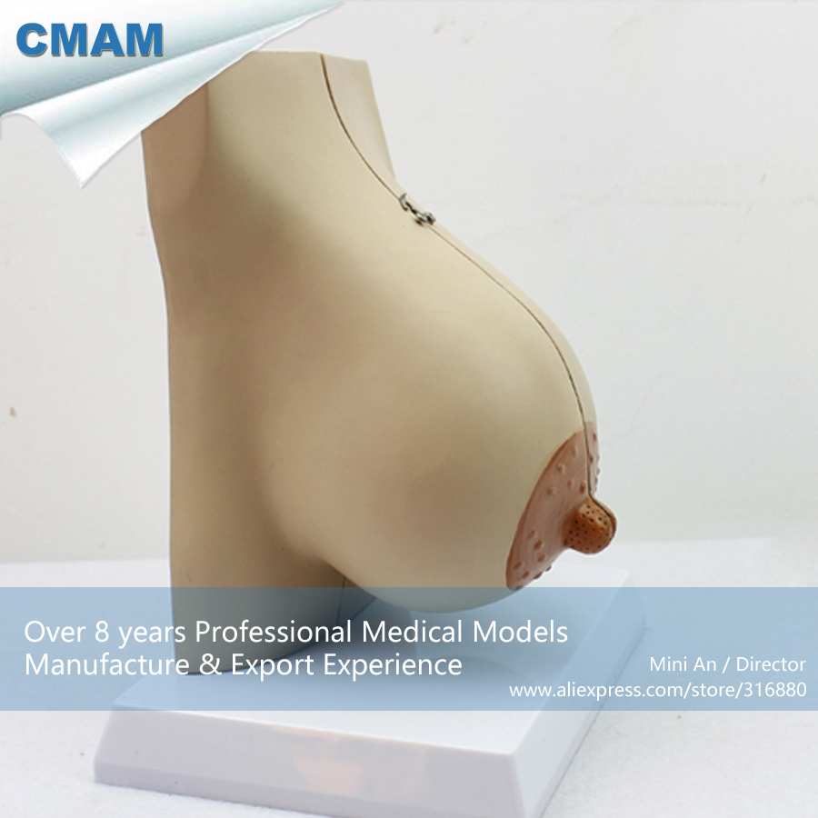 12460 CMAM-ANATOMY22 Female Lactating Breast Section Anatomical Model, 2 Parts, Anatomy Models > Female Models 12440cmam anatomy02 life size female pelvis section anatomical model 3part anatomy models male female models female models