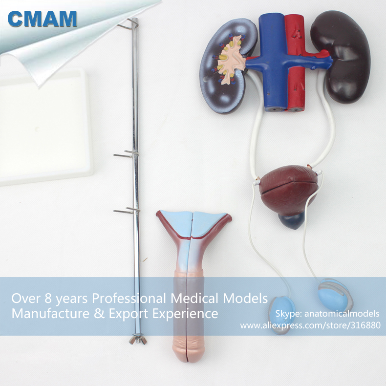CMAM-UROLOGY03 Male Urogenital System , Standing Urinary System Model, Anatomy Models > Urinary Models > Male cmam urology06 dual sex human urinary system in situ male and female bladder interchangeable