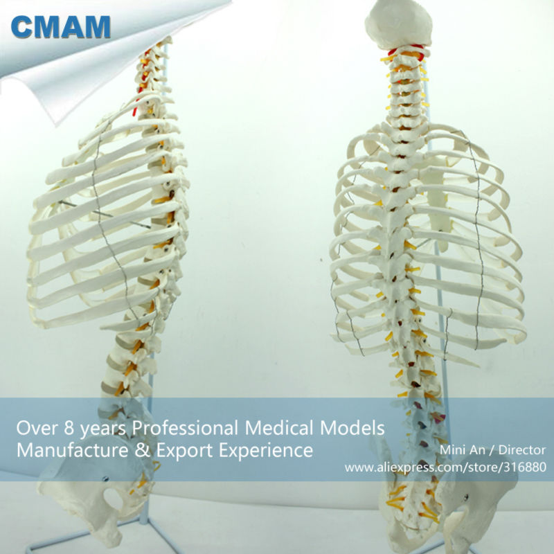 12379 CMAM-SPINE06 Life-Size Sternum with Transpaeent Rib for Medical School Education plastic standing human skeleton life size for horror hunted house halloween decoration