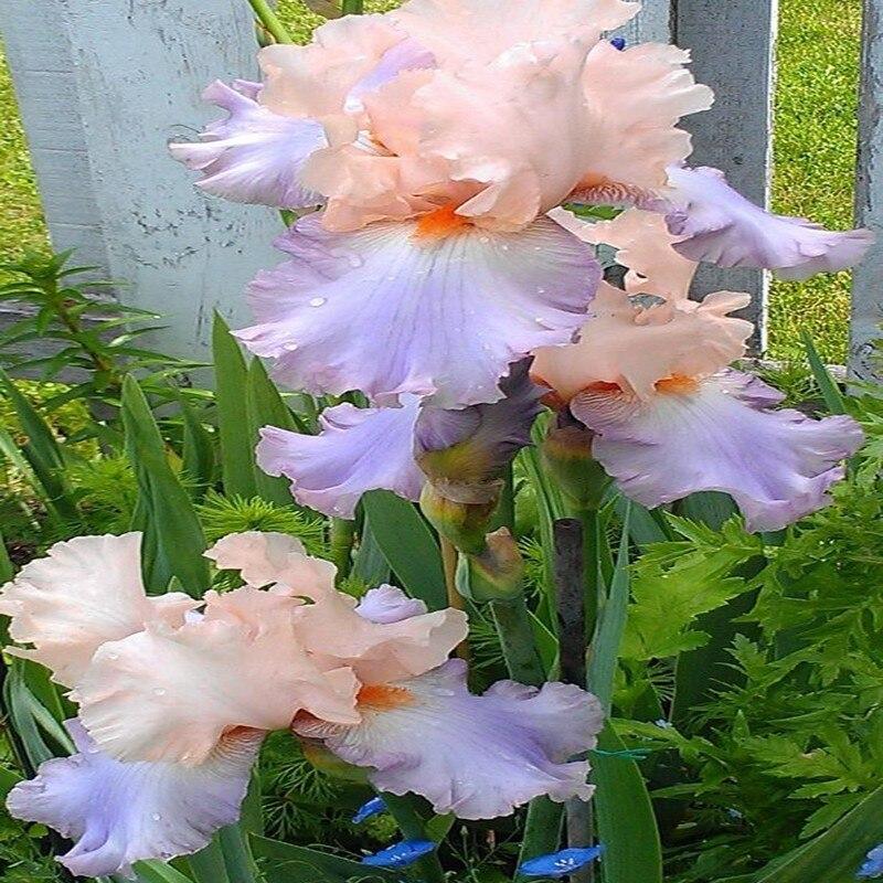 50 шт. Ирис Орхидея Цветы Семена светло-фиолетовый и коричневый Цвет лепестки DIY дома Японский Сад Бонсай открытый растений семена