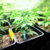100 cái Nhật Bản Cầu Vồng Gai Hạt Giống Hạt Giống Hoa Quý Hiếm 2017 Giống Mới Bonsai Gai Cây Giống Rau Đối Với Trang Chủ Vườn