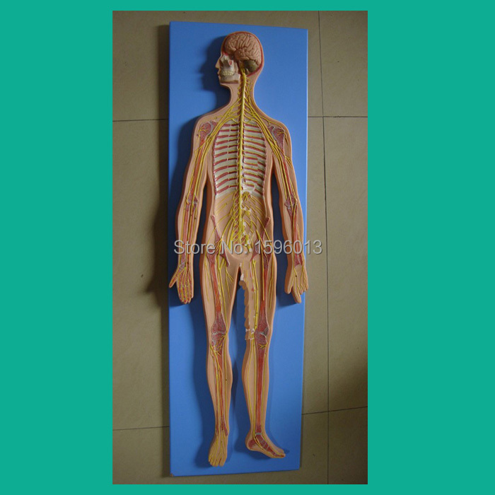 HOT Nervous System Model,Anatomical Model of the Nervous System,human Nervous System model human larynx model advanced anatomical larynx model