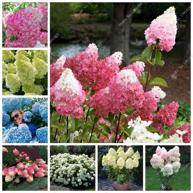 gro e f rderung 15 arten hortensien baum samen sch ne balkon topfblumen erdbeere hortensien. Black Bedroom Furniture Sets. Home Design Ideas
