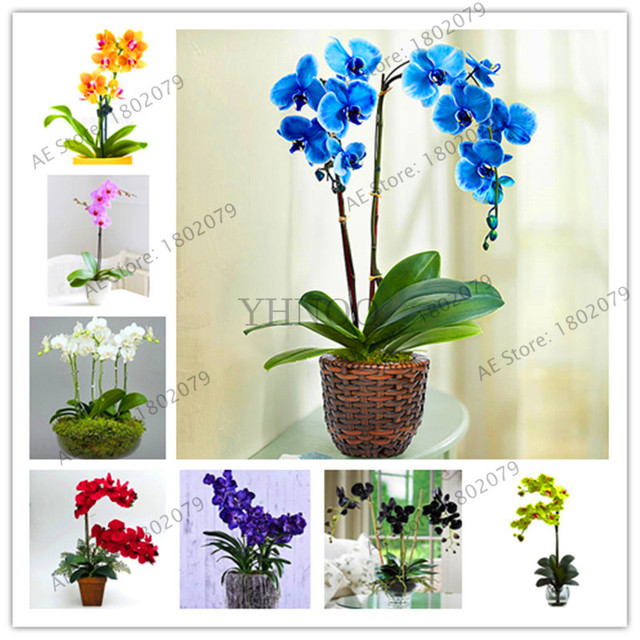 Genuine!100 pcs/bag orchid flores, phalaenopsis orchid flower plantas for home garden perennial balcony plant bonsai plante orch