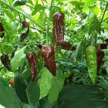 5 шт. шоколад BHUT JOLOKIA перец семена