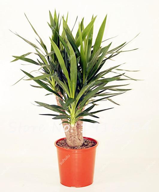 100 pz borsa verde yucca semi fai da te piante in vaso - Piante per esterno sempreverdi ...