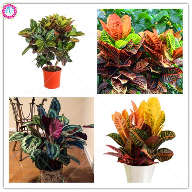 100pcs real Variegated Leaf Croton seeds rainbow Codiaeum Variegatum bonsai Seeds Ornamental Indoor Plant for DIY Home Gardening