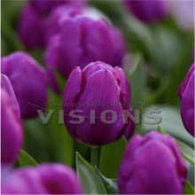 Selling flower seeds potted plants tulips 10pcs / lot