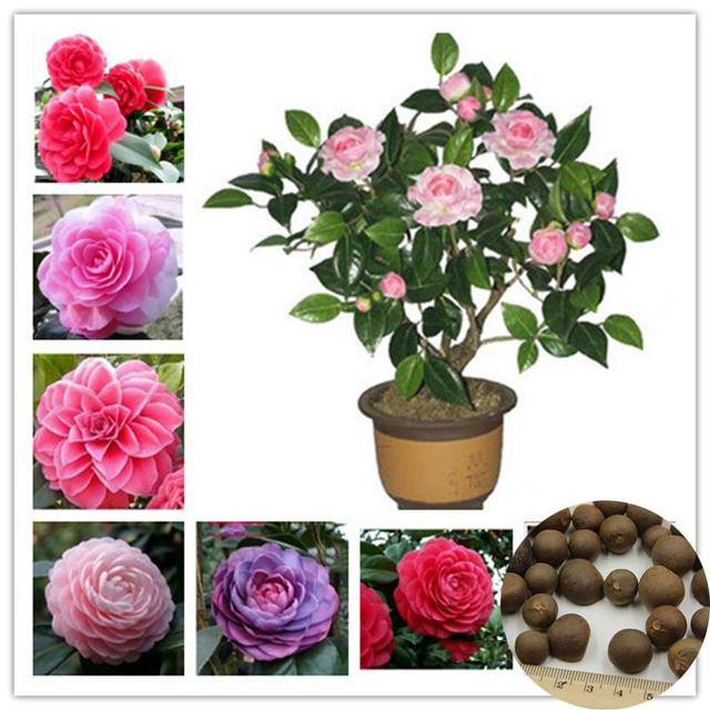 1 Seeds / Pack Camellia Seeds, Flower Seeds, Diy Potted Plants, Indoor / Outdoor Pot Seed Germination Rate Of 95%