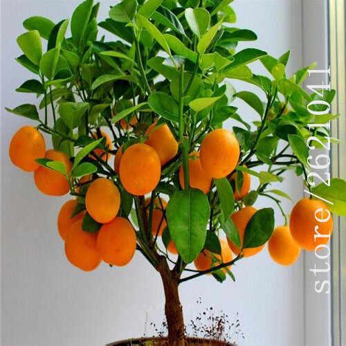 20 Buah Bonsai Orange Pot Dimakan Tangerine Buah Jeruk Tanaman Kerdil Orange Tree Tanaman Dalam Ruangan untuk Taman Rumah Tanaman
