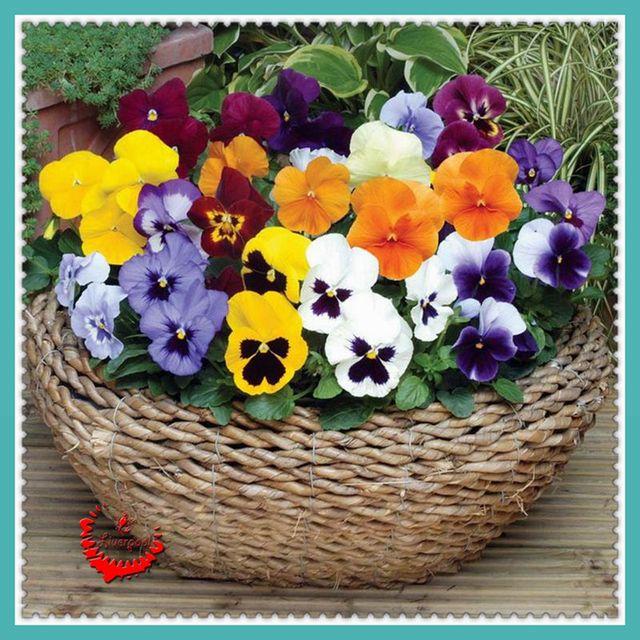 100 magnifique pens e graines belle belle plante viola tricolor graines pour le jardin de diy. Black Bedroom Furniture Sets. Home Design Ideas