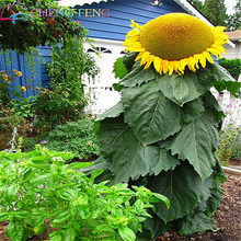10 Skyser 8 Feet Tall Sunflower Plants Easy To Grow Annual Giant Novel Blooming Home Garden Free Shipping