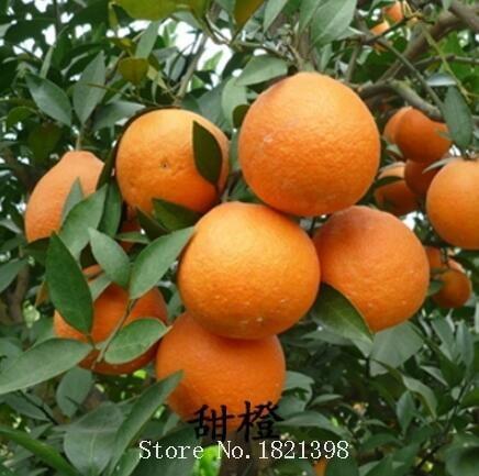 30 seeds/bag Rare potted fruit tree new varieties of sweet orange seeds seedlings Oranges tree sapling fruit tree seed