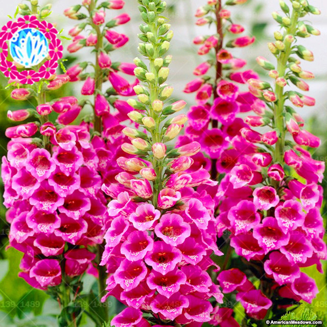 200 pcs foxglove sementes de plantas de interior bonsai for Ver plantas ornamentales