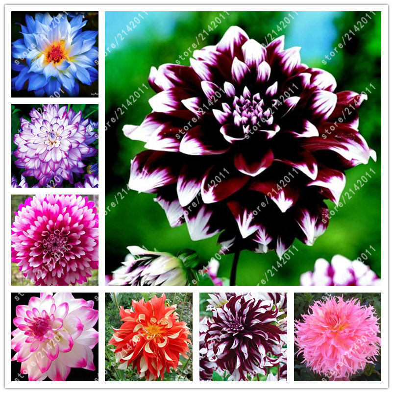 20pcs/bag dahlia flower dahlia seeds, (not dahlia bulbs)bonsai flower seeds gorgeous flower Balcony potted plant for home garden