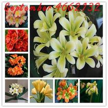 100 Pcs Hot Sale Clivia Miniata plant Gorgeous Bonsai Rare Bush lily Flower DIY Home Garden With High Ornamental Value