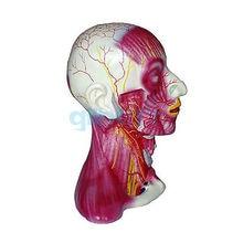 Life Size Median Section of Human Head & Neck Anatomical Skeleton Medical Model