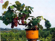 50pcs grape seeds natural bonsai fruit seeds Sweet delicious dwarf purple grapes tree for home garden planting best packaging