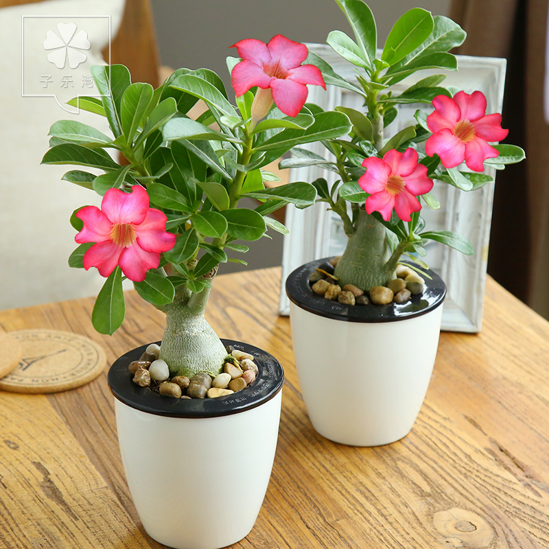 Plants For Tiny Pots: Desert Rose Plants Potted Flowers Indoor Hydroponic Plant