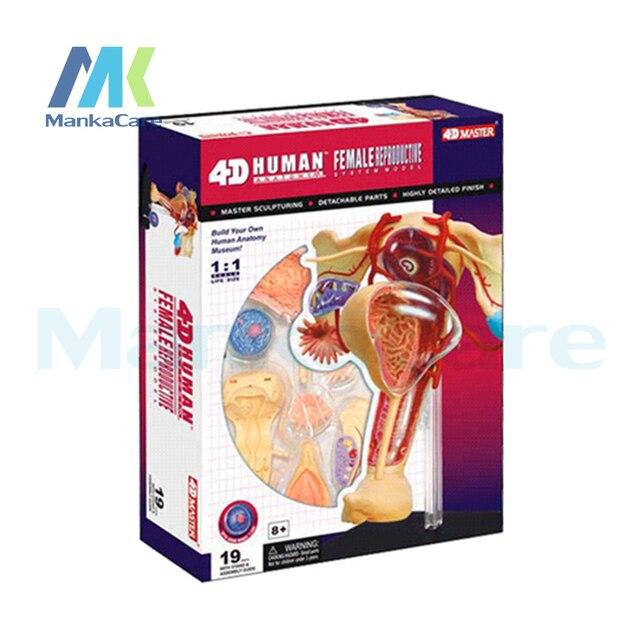 Aliexpress Buy 4d Master Medical Female Human Body Skeleton